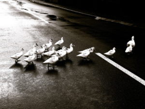 duck-crossing-1360983