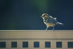 bird-sparrow-large