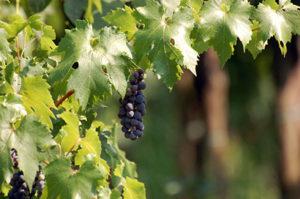 grapevine-1318350 copia