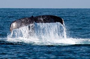 whale-fin-1338332 copia